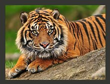 Fototapete Sumatra -Tiger 270 cm x 350 cm East