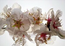 Fototapete Tapete Kirschblüte Blume weiß Foto