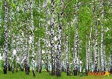 Fototapete Tapete Wald Bäume Birken Foto 360 x