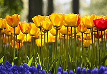 Fototapete Tulpen im Garten M 250 x 175 cm - 5