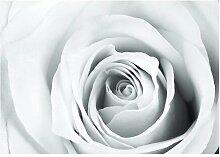 Fototapete Weiße Rose