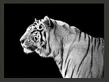 Fototapete Weißer Tiger 154 cm x 200 cm East