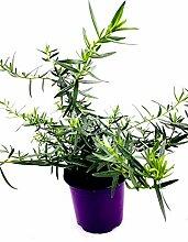 Französischer Estragon Artemisia dracunculus