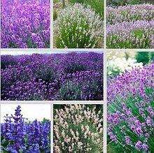 Freies Verschiffen 5 Art Lavendel Samen Kraut Samen Garten Balkon Topf Vier Jahreszeiten Blumensamen