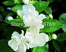 Freies Verschiffen 50 Stücke weiße Jasminsamen, duftende Pflanze arabisches Jasmin Blumensamen 49%