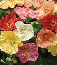 Frisch 2000 Samen - Abutilon Mix Blumensamen