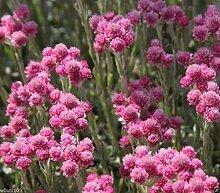 Frisch 2000 Samen - Antennaria Rubra Bodendecker