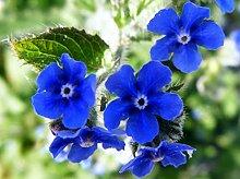 Frisch 2000 Samen - Bugloss Blumensamen