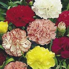 Frisch 2000 Samen - Carnation Chabaud