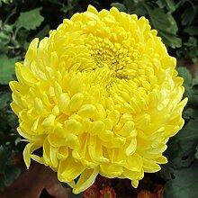Frisch 2000 Samen - Gelb Paeony Aster-Blumensamen