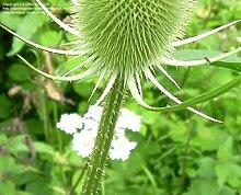 Frisch 2000 Samen - Karde Blumensamen