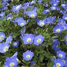 Frisch 2000 Samen - Nolana Blau Bodendecker Seed