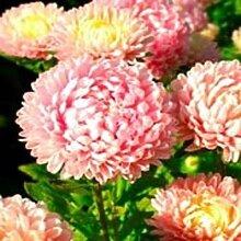 Frisch 2000 Samen - Pink Paeony Aster-Blumensamen