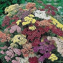 Frisch 2000 Samen - Schafgarbe Pastell-Blumensamen