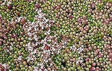 Frisch 2000 Samen - Sedum hispanicum Bodendecker