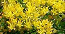 Frisch 2000 Samen - Sedum Oreganum Bodendecker Seed