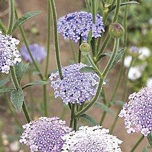 Frisch 2000 Samen - Spitze Blumensamen