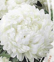 Frisch 2000 Samen - Weiße Paeony Aster-Blumensamen