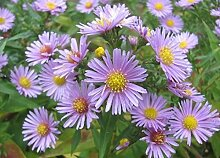 Frisch 4000 Samen - Blaue Aster-Blumensamen