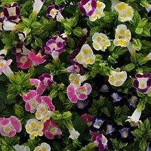 Frisch 4000 Samen - Periwinkle Rose Bodendecker