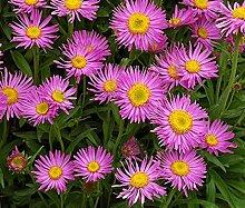 Frisch 4000 Samen - Rosa Aster-Blumensamen