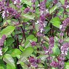 Frisch 5000 Samen - Basilikum Zimt Kräutersamen