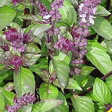 Frische 10000 Samen - Basilikum Zimt Kräutersamen