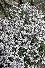 Frische 10000 Samen - Gypsophila repens Weiß