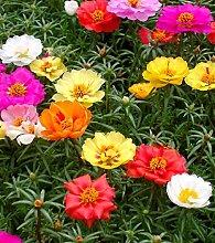 Frische 10000 Samen - Moss Rose Bodendecker Samen