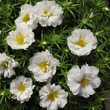 Frische 10000 Samen - Moss Rose Weiß Bodendecker