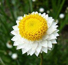 Frische 10000 Samen - Papierknöpfchen Blumensamen