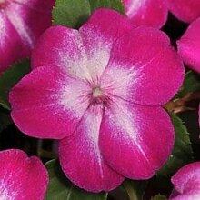 Frische 200 Samen - Impatiens Violet