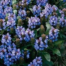 Frische 200 Samen - Prunella Blau Bodendecker Seed