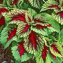 Frische 40 Samen - Coleus Kong Mosaik-Blumensamen