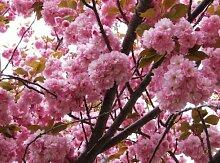 Frische japanische Kirsche Sakura 100 Samen Prunus