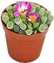 Frithia pulchra - Fensterblatt - kleine Pflanze im