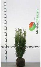 Fruchtende Bechereibe Eibe Taxus media Hicksii 60-80 cm, 125x Heckenpflanze, inkl. Versand