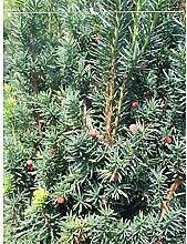 Fruchtende Bechereibe Eibe Taxus media Hicksii