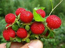 Fruchtsamen Bonsai Obst Riesige rote Die Schlange Brombeere Samen Köstliche Himbeeren Gartendekoration Pflanze 20pcs A037 ro