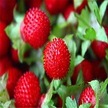 Fruchtsamen Bonsai Obst Riesige rote Die Schlange Brombeere Samen Köstliche Himbeeren Gartendekoration Pflanze 20pcs