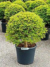 Frühblühende Prachtglocke, ca. 75 cm, Balkonpflanze weiß blühend, Terrassenpflanze halbschattig-schattig, Kübelpflanze Westbalkon-Ostbalkon, Enkianthus perulatus, im Topf