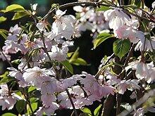 Frühe Zierkirsche 'Accolade' - Prunus