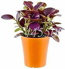 Frühling Bonsai Peperomia tetraphylla Pflanze 100