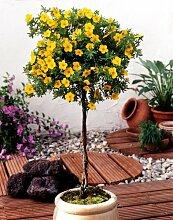 Fünffingerstrauch zum Stämmchen gezogen gelb blühend. 1 Pflanze