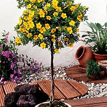 Fünffingerstrauch zum Stämmchen gezogen gelb blühend, 1 Pflanze