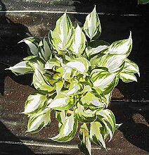 Funkie Fire and Ice - großer Topf - Hosta fortunei