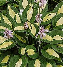 Funkie Gipsy Rose - Hosta cultorum