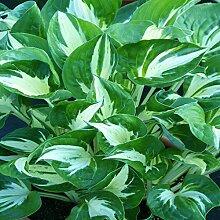 Funkie Pathfinder - 1 pflanze