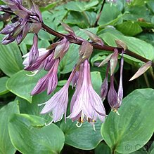 Funkie Purple Heart - Hosta cultorum