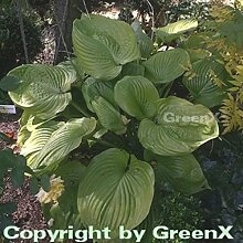 Funkie Sum and Substance - Hosta cultorum